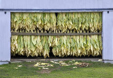 Tobacco Drying. Tobacco leaves drying in barn Stock Image