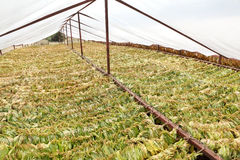 Tobacco drying on traditional way Stock Images