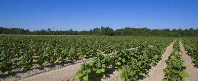 Tobacco farm Royalty Free Stock Images