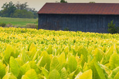 Tobacco farm. Field of tobacco plants in a farm in Kentucky Royalty Free Stock Image
