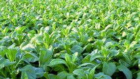 Tobacco farm agriculture harvest Stock Photos