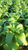Tobacco farm agriculture harvest vertical Stock Photo