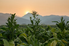 Tobacco farm Stock Photos