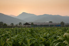 Tobacco farm Stock Images