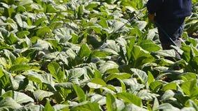 Tobacco farm and farmer spray apply fertilizer