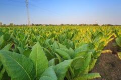 Tobacco farm Royalty Free Stock Photos