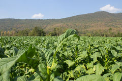 Tobacco farm in morning on mountainside Stock Photo