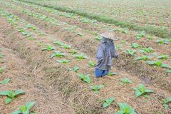 Tobacco farm in morning, thailand Royalty Free Stock Photos