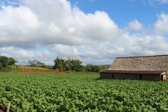 Tobacco farm near La Havana Stock Image