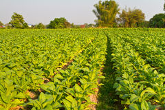 Tobacco farm Stock Image
