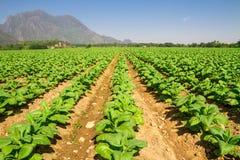 Tobacco farm Stock Image