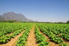 Tobacco farm Royalty Free Stock Photography