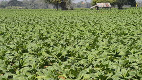 Tobacco farm plants of thailand stock video footage