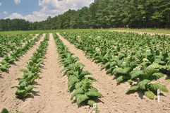 Tobacco farm Royalty Free Stock Image