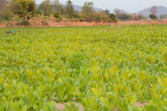 Tobacco farm in Thailand Royalty Free Stock Photo
