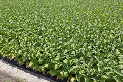 Tobacco farm Royalty Free Stock Photography
