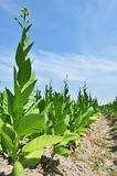 Tobacco Farm in a Village Stock Photo