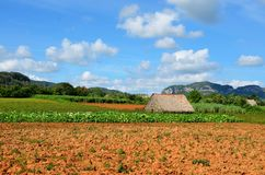 Tobacco farm in Vinales, Cuba. Tobacco farm in Vinales, its typical house and red soil, Cuba Royalty Free Stock Images