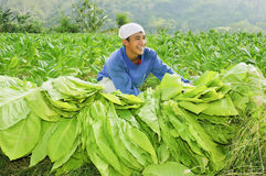 Tobacco Farmer Stock Photo