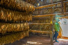 Tobacco farmer and Drying tobacco leaves in a drying shed in Viñales, Cuba royalty free stock photos