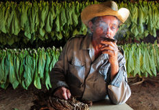 Tobacco farmer in his drying shed with fresh tobacco leaves in b Royalty Free Stock Image