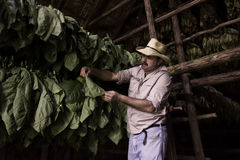 Tobacco Farmer, Vinales, Cuba. A tobacco farmer, with a cigar in his mouth and a straw hat, looks carefully at tobacco leaves drying in his wooden barn in Royalty Free Stock Image