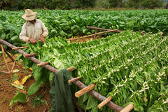 Tobacco farmers collect tobacco leaves Royalty Free Stock Images