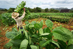 Tobacco farmers collect tobacco leaves. In Cuba stock images