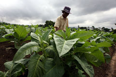Tobacco. Farmers are doing maintenance tobacco plants Boyolali, Central Java, Indonesia Royalty Free Stock Image
