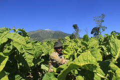 Tobacco farmers. Hauling crops in paddy slopes of Mount Merapi Central Java Indonesia Royalty Free Stock Photo