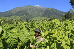 Tobacco farmers Royalty Free Stock Photography