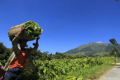 Tobacco farmers. Hauling crops in paddy slopes of Mount Merapi Central Java Indonesia Royalty Free Stock Images