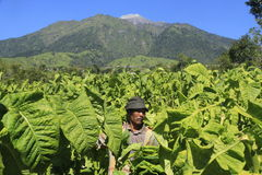 Tobacco farmers Stock Photo