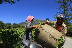 Tobacco farmers. Hauling crops in paddy slopes of Mount Merapi Central Java Indonesia Royalty Free Stock Photos