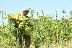 Tobacco farmers Stock Photography
