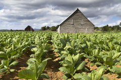 Tobacco farming on Cuba Royalty Free Stock Image