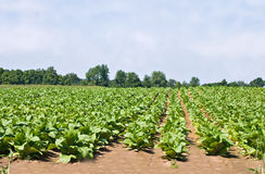 Tobacco Field. Against trees and a blue sky royalty free stock photography