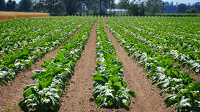 Tobacco Field. In Ontario Canada royalty free stock photo