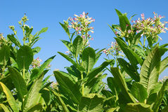 Tobacco field. Tobacco plant with flower field royalty free stock photos