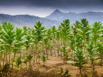 Tobacco field. Green tobacco field, agricultural area in Europe royalty free stock photos