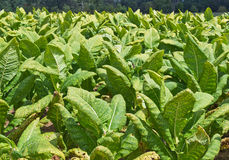 Tobacco Field. Tobacco (Nicotiana tabacum) growing in a field in Southern Maryland. Historically an important crop for the region, dating back to when the United royalty free stock photos