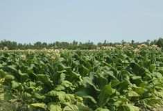 Tobacco field. In nc with plants flowering stock photos