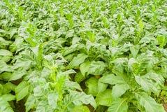 Free Tobacco Field Stock Photo - 30069920