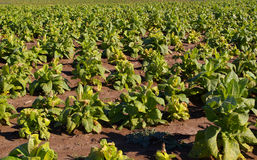 Tobacco Field. View of a tobacco field in central Kentucky royalty free stock photos
