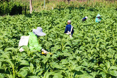 Tobacco field. In Chaingrai Thailand royalty free stock photo