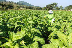 Tobacco field. In Chaingrai Thailand royalty free stock image
