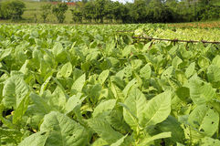 Tobacco field in Cuba. Just before the harvest royalty free stock photo