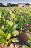 Tobacco field in Cuba Stock Photography