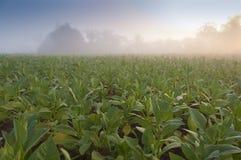 Tobacco field in Cuba Stock Photo