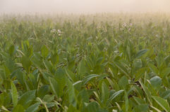 Tobacco field in Cuba Stock Images